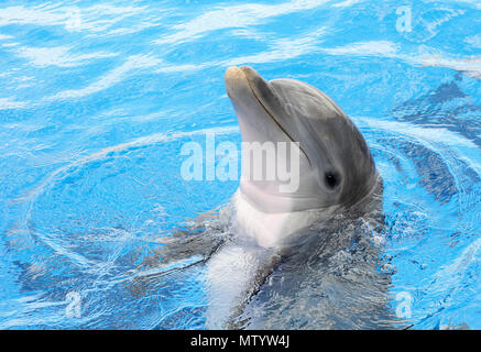 Marineland, USA. May 31, 2018 - Marineland, Florida, United States - A bottlenose dolphin raises its head out of the water at Marineland Dolphin Adventure in Marineland, Florida during the attraction's 80th anniversary celebration on May 31, 2018. The park, the world's first oceanarium, opened in 1938 as Marine Studios, allowing  filmmakers to shoot underwater footage and visitors to see marine life live and up close. Credit: Paul Hennessy/Alamy Live News - Stock Photo