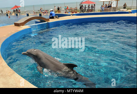 Marineland, USA. May 31, 2018 - Marineland, Florida, United States - A bottlenose dolphin plays in a tank at Marineland Dolphin Adventure in Marineland, Florida during the attraction's 80th anniversary celebration on May 31, 2018. The park, the world's first oceanarium, opened in 1938 as Marine Studios, allowing  filmmakers to shoot underwater footage and visitors to see marine life live and up close. Credit: Paul Hennessy/Alamy Live News - Stock Photo
