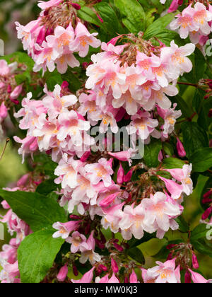 Close up of the pink flowers of the early summer blooming beauty bush, Kolkwitzia amabilis 'Pink Cloud' - Stock Photo