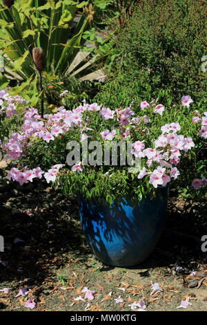 Pandorea jasminoides or known as  bower of beauty, bower vine or bower plant