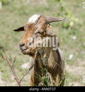 Square frontal portrait of young goat eating on bush in arid surrounding. - Stock Photo