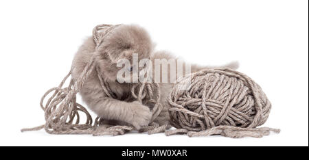 Highland fold kitten playing with a wool ball, isolated on white - Stock Photo