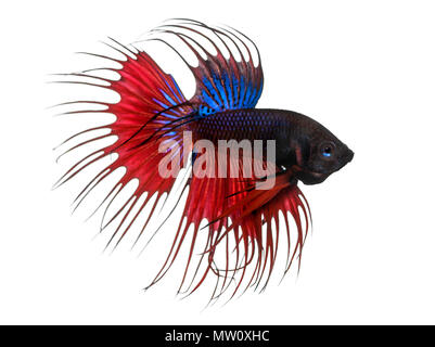 Side view of a Siamese fighting fish, Betta splendens, isolated on white - Stock Photo