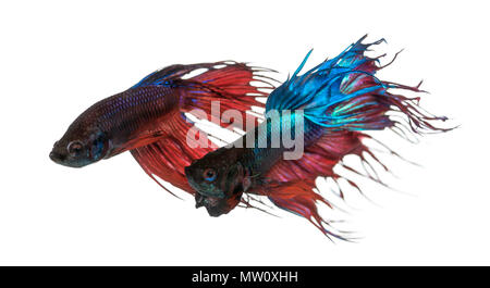 Two Siamese fighting fish, Betta splendens, isolated on white - Stock Photo