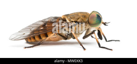 Side view of a Horsefly, Tabanus, isolated on white - Stock Photo