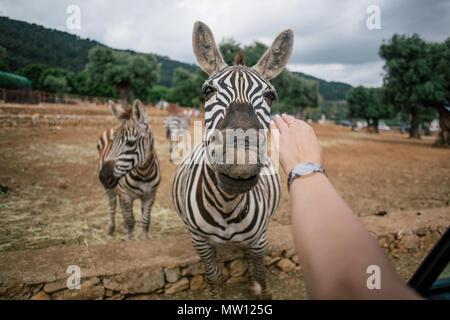 Touching a zebra in Fasano apulia safari zoo Italy - Stock Photo