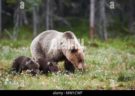 Mommy bear walks in the Finnish taiga with two small puppies - Stock Photo