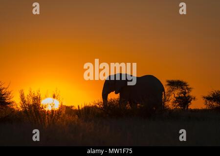 African elephant (Loxodonta africana) at sunset, silhouette, backlight, Nxai Pan National Park, Botswana - Stock Photo