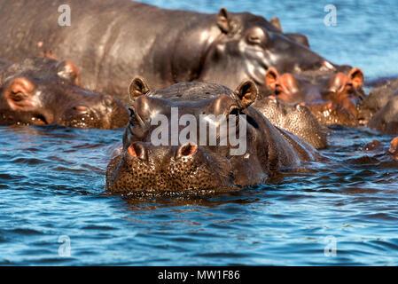 Hippo (Hippopotamus amphibius) in the water, Chobe National Park, Botswana - Stock Photo