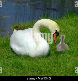 Mute swans swan cygnet cygnets on dry land - Stock Photo