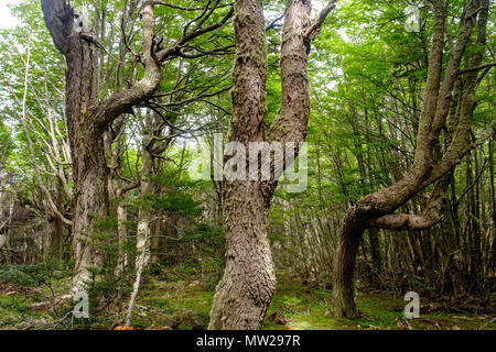 The lenga forests on the Martial mountains near Ushuaia garantee mysterious experiences with strange looking trees as if they come from fairytales. - Stock Photo