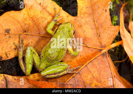 Pacific tree frog (Pseudacris regilla), Nisqually National Wildlife Refuge, Washington - Stock Photo