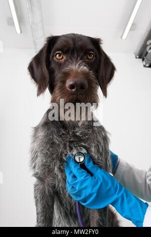hands of vet examine dog with stethoscope in vet clinic - Stock Photo