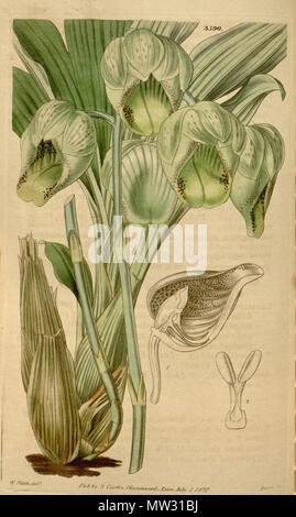 . Illustration of Catasetum luridum . 1837. Walter Hood Fitch (1817-1892) del., Swan sc. 118 Catasetum luridum - Stock Photo