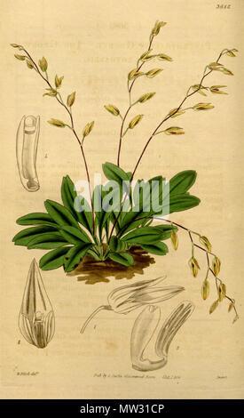 . Illustration of Pleurothallis grobyi . 1839. Walter Hood Fitch (1817-1892) del., Swan sc. 489 Pleurothallis grobyi - Stock Photo
