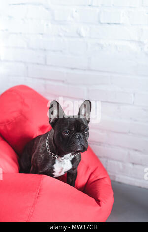 Funny Frenchie dog sitting on red bean bag - Stock Photo