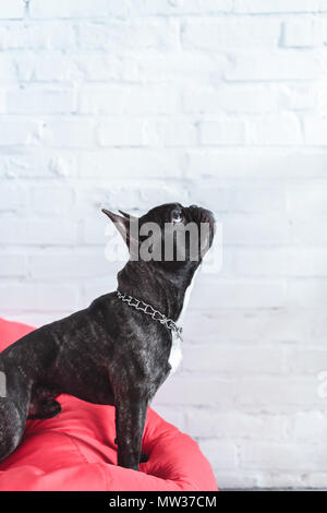 Frenchie dog sitting on red bean bag and looking up - Stock Photo