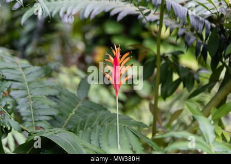 Parakeet Heliconia flower on the Big Island of Hawaii - Stock Photo