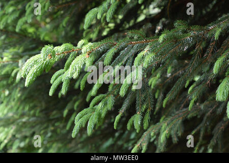 new sprouts of fir in early spring - Stock Photo