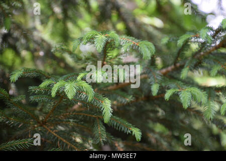 conifer with new shoots on branches in early spring - Stock Photo