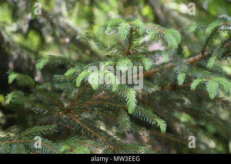 sprouts bright green colored of a fir in early spring - Stock Photo