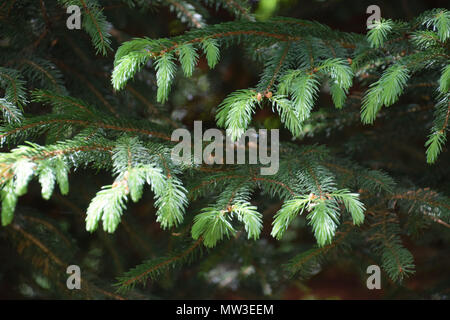 new soft green branches of pinales in spring - Stock Photo
