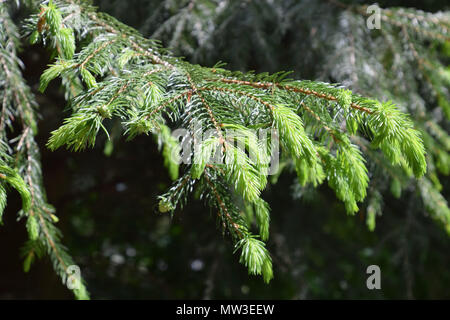 new sprouts of conifer lit by the spring sun - Stock Photo