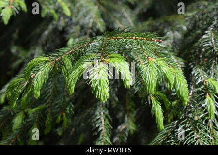 branches of conifer with young sprouts in springtime - Stock Photo