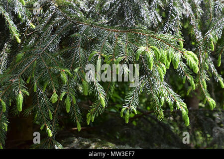 fresh bright green new young sprouts of spruce tree in spring - Stock Photo