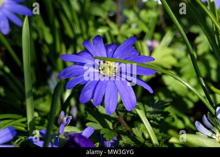 Anemone blanda flower (bulb, Ranunculaceae) in a garden in spring (Suzanne's vegetable garden, Le Pas, Mayenne, Pays de la Loire, France. - Stock Photo