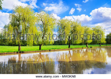 Willow trees on the banks of the River Wey, Guildford, Surrey, England, UK - Stock Photo