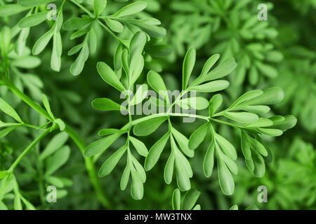 Green Herb of Grace (Ruta graveolens) plant - Stock Photo