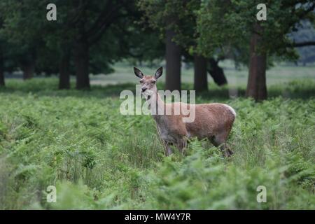 Wild Deer in Richmond Park - Stock Photo