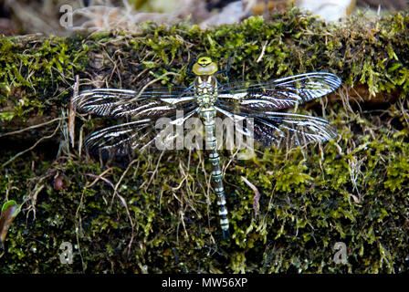 Recently hatched Common Hawker dragonfly warming itself on a mossy wall, Derbyshire, UK - Stock Photo