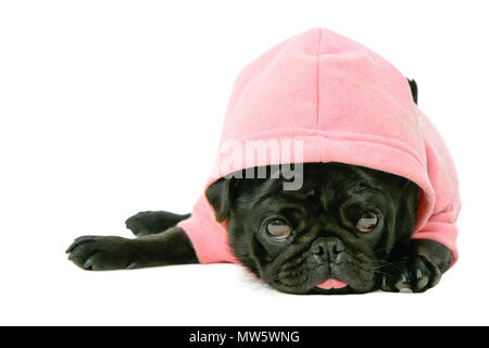 Pretty cute small black female Pug puppy dog in pink pet hoodie clothing sticking out tongue isolated on white background - Stock Photo