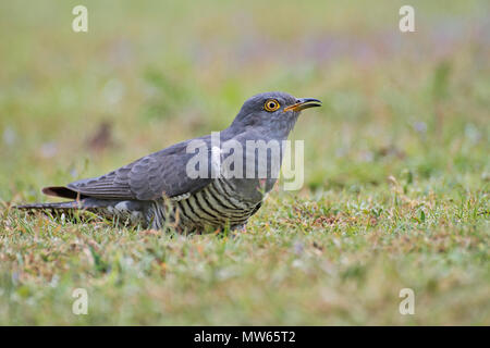 Common cuckoo (Cuculus canorus) - Stock Photo