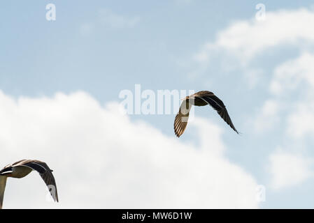 Two male mallard ducks (Anas platyrhynchos) in flight - Stock Photo