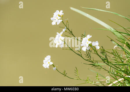 Cuckoo flower (Cardamine pratensis) growing on the bank of the Kennet  & Avon canal - Stock Photo