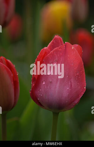 beautiful pink tulip wet by the rain - Stock Photo
