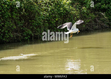 A lesser black-backed gull (Larus fuscus) flying low over the Kennet & Avon canal with a fish in its beak - Stock Photo