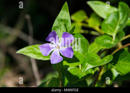 A greater periwinkle (Vinca major) in flower - Stock Photo