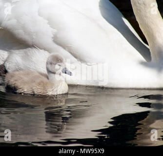 Tiny 3 day old baby swan swimming alongside her mother - Stock Photo