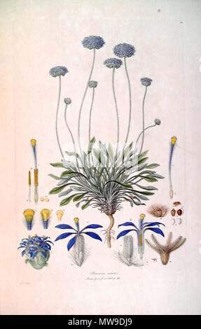 . This is a scan of Plate 10 from Ferdinand Bauer's Illustrationes Florae Novae Hollandiae. The plant featured is Brunonia australis, then known as Brunonia sericea. early 19th century. Ferdinand Bauer (1760–1826) 102 Brunonia sericea (Illustrationes Florae Novae Hollandiae plate 10) - Stock Photo