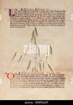 . English: arapion the Younger, Translation of the herbal (The 'Carrara Herbal'), including the Liber agrega, Herbolario volgare; De medicamentis, with index (ff. 263-265) Italy, N. (Padua); between c. 1390 and 1404 . between c. 1390 and 1404. An Italian translation, possibly from a Latin translation, of a treatise orginally written in Arabic by Serapion the Younger (Ibn Sarabi, likely 12th century). 115 Carrara Herbal12 - Stock Photo