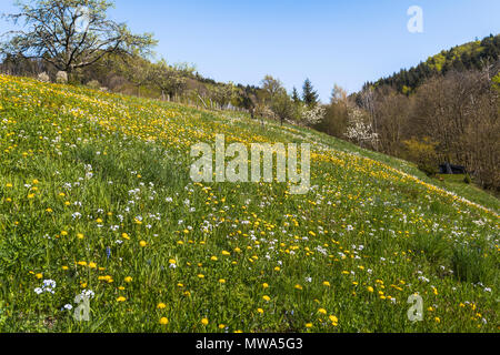 flower meadow in the spring, town Oberkirch, Germany, district Ringelbach, foothills of the Black Forest in the Ortenau region, territory Baden - Stock Photo