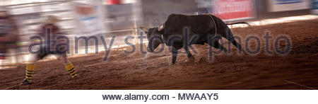 Angry snorting bull confronts bullfighter at indoor country rodeo - Stock Photo