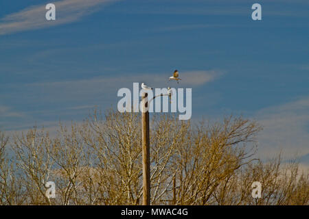 Ring-billed Gulls Resting on Park Security Light, Canyon, Texas - Stock Photo