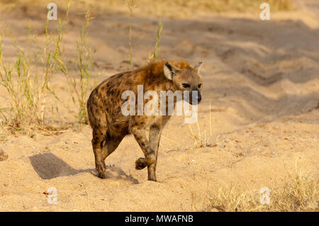 A spotted hyena on the prowl for an easy meal in Sabi Sands game reserve - Stock Photo