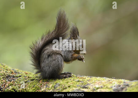 Eurasian red squirrel (Sciurus vulgaris), feeding, Grisons, Switzerland - Stock Photo
