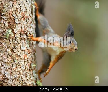 Eurasian red squirrel (Sciurus vulgaris), climbing a tree trunk, Grisons, Switzerland